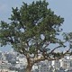 باحث فلسطيني يمتلك صورة نادرة لشجرة الجميزة ويطالب الرئيس بلقاء عاجل