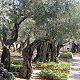 أشجار بستان الزيتون في الجسمانية، إعلان نتائج البحوث العلمية
